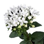 Бувардия Длинноцветковая (растение)