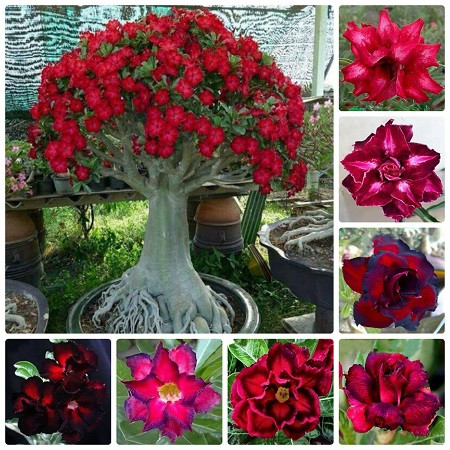 Adenium Obesum Double & Triple RED MIXED (набор семян)