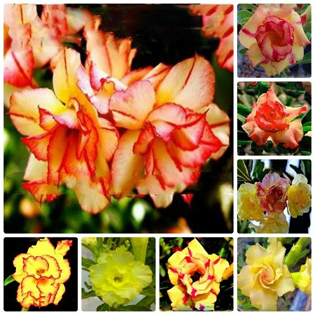 Adenium Obesum Double & Triple YELLOW MIXED (набор семян)