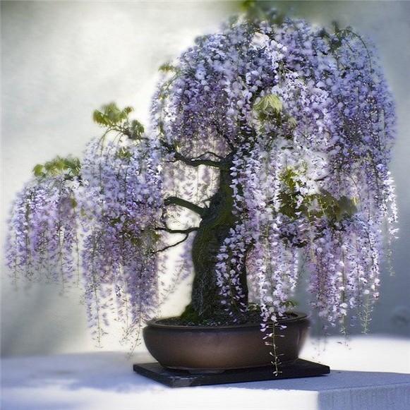 Wisteria Floribunda или Глициния Многоцветковая (семена)