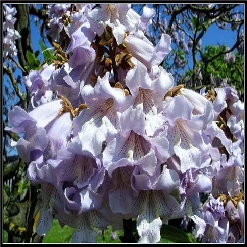 Paulownia Tomentosa или Павловния Войлочная (семена)