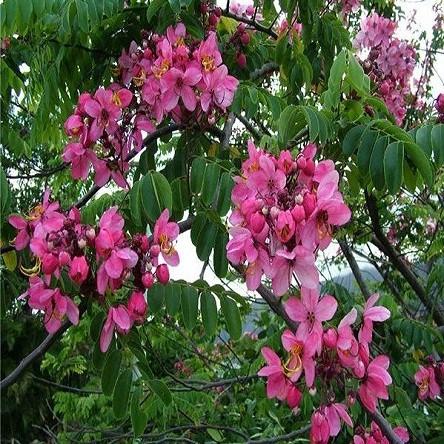 Cassia Javanica или Кассия Яванская (семена)