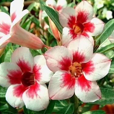 Adenium Obesum Desert Rose Bright Gem (семена)