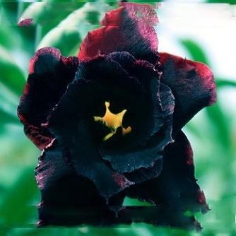 Adenium Obesum Double Flower BLACK SWAN (семена)