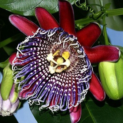 Passiflora Quadrangularis или Пассифлора Гигантская (семена)