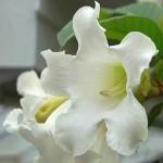 Beaumontia Grandiflora или Бьюмонтия Крупноцветковая