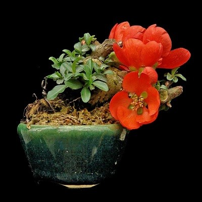 Chaenomeles JAPONICA или Айва Японская (семена)