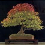 ACER Palmatum Atropurpureum или Красный Японский Клен