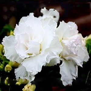 Adenium Obesum Triple Flower WHITE KING PARFUM (семена)
