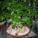 Brachychiton Acerifolius или Брахихитон Кленолистный