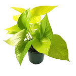 Эпипремнум GOLDEN POTHOS (растение)