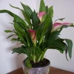Калла Микс (растение)