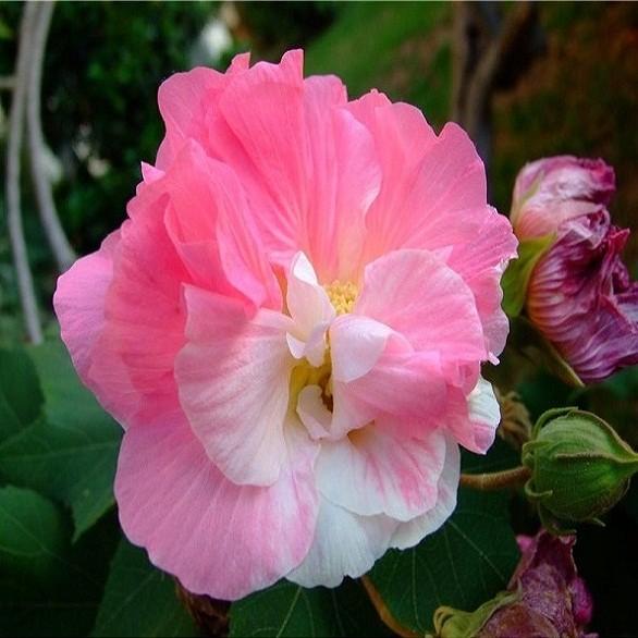Hibiscus Mutabilis или Гибискус Изменчивый (семена)