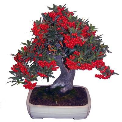 Pyracantha Fortuneana или Пираканта Форчуна (семена)