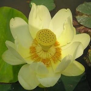 Nelumbo NUCIFERA YELLOW или Лотос Орехоносный Желтый (семена)