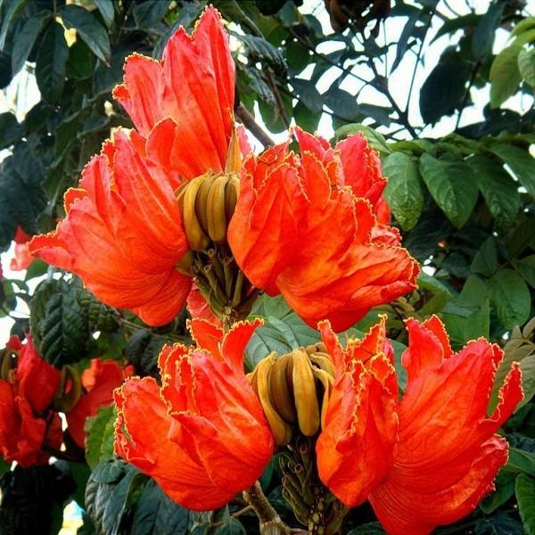 Spathodea Campanulata или Спатодея Колокольчатая (семена)