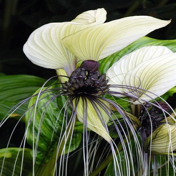 Tacca Integrifolia или Такка Цельнолистная (семена)