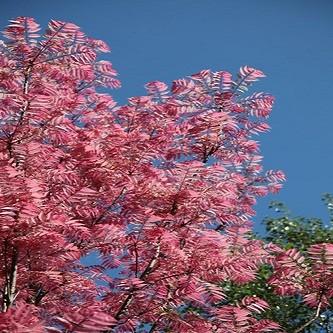 Toona Sinensis или Китайское Красное Дерево (семена)