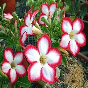 Adenium Obesum Desert Rose SUPER NOBLE CONCUBINE (семена)