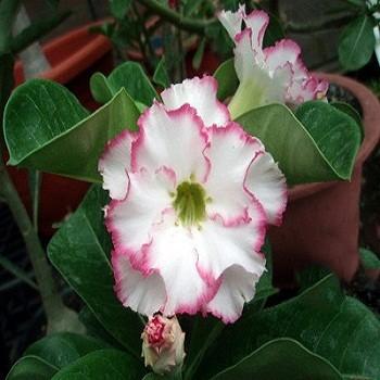 Adenium Obesum Double Flower Creamy Sweet KO-08 (семена)