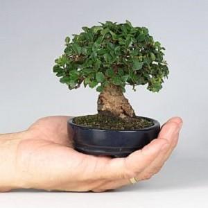 Ulmus Parvifolia или Вяз Мелколистый (семена)