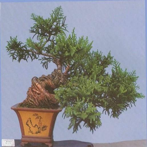 Araucaria Bidwillii или Араукария Бидвилла (семена)