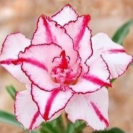 Adenium Obesum Triple Flower KING STRIPSE (семена)