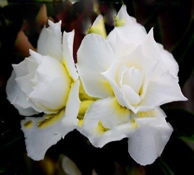 Adenium Obesum Triple Flower VANILLA ICE (семена)