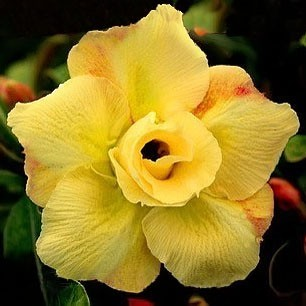 Adenium Obesum Double Flower YELLOW KING PARFUM (семена)