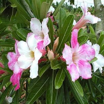 Adenium Obesum Desert Rose CHAMELEON (семена)