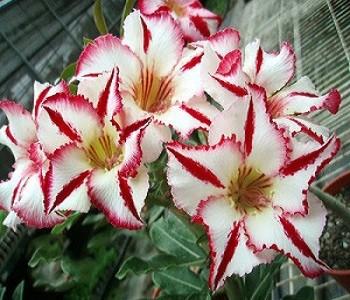 Adenium Obesum Desert Rose FANTASTIC SMILE KO-38 (семена)