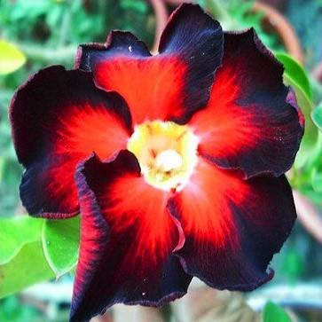 Adenium Obesum Desert Rose BLACK FIRE (семена)