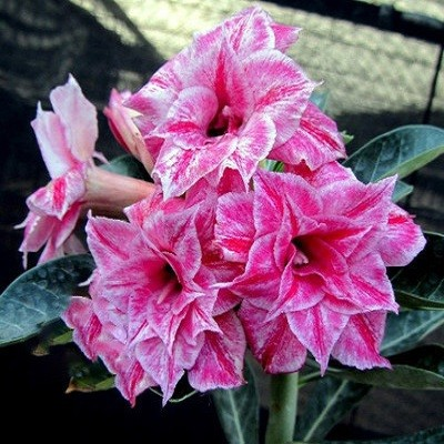 Adenium Obesum Triple Flower PARADISE DREAM KO-33 (семена)