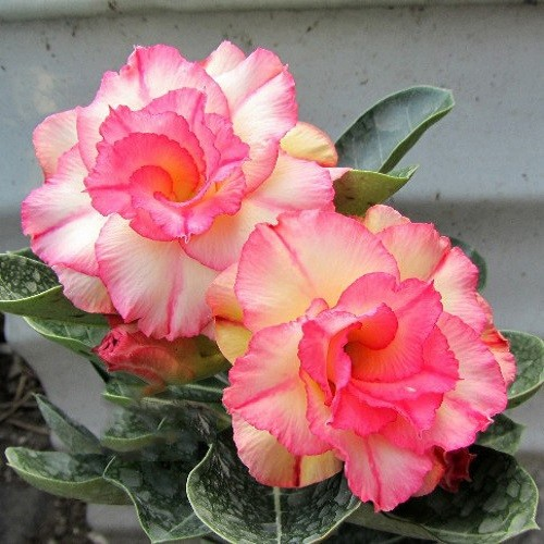 Adenium Obesum Triple Flower BLISSFUL LULLABY KO-06 (семена)