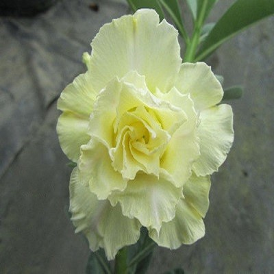 Adenium Obesum Triple Flower Lemon Blonde KO-41(семена)