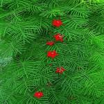 Ipomoea Quamoclit RED или Ипомея Квамоклит