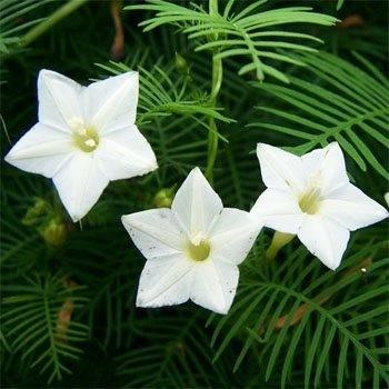 Ipomoea Quamoclit ALBA или Ипомея Квамоклит (семена)