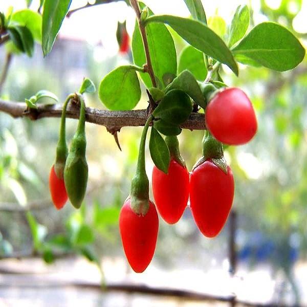 Lycium Barbarum или Ягоды Годжи (семена)