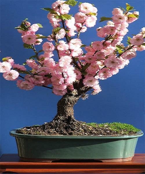 Prunus Triloba или Миндаль Трехлопастной (семена)