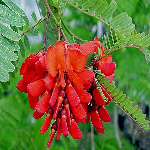 Sesbania GRANDIFLORA или Сесбания Крупноцветковая (семена)