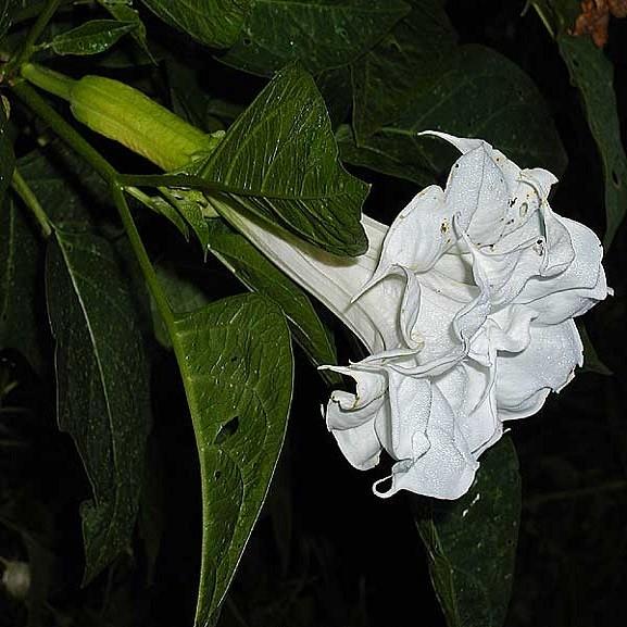 Datura Metel Double White или Дурман Индийский (семена)