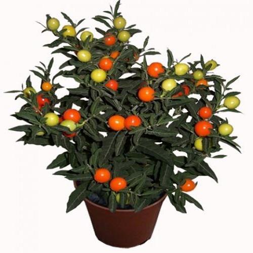 Solanum CAPSICASTRUM или Паслен Перцевидный (семена)