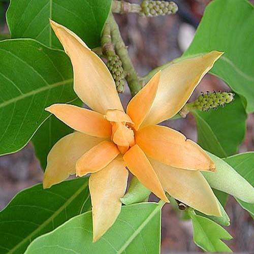 Michelia CHAMPACA или Михелия Чампака (семена)
