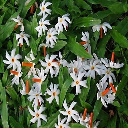Nyctanthes ARBOR-TRISTIS или Ночной Жасмин (семена)