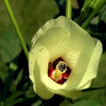 Hibiscus ABELMOSCHUS или Гибискус Мускусный