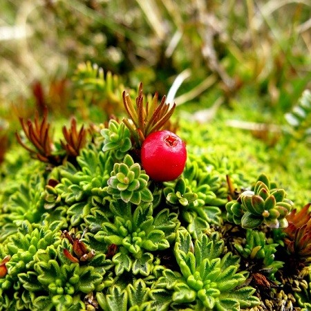 Empetrum RUBRUM или Водяника Красная (семена)