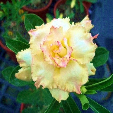Adenium Obesum Triple Flower Mysterious Flush NEW-28 (семена)