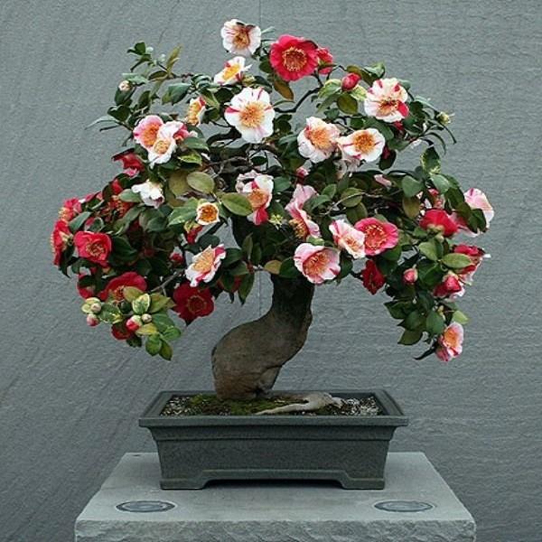 Camellia JAPONICA или Камелия Японская (семена)