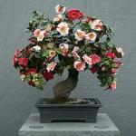Camellia JAPONICA или Камелия Японская