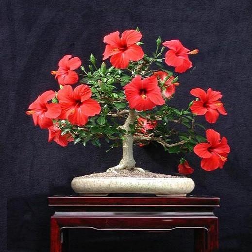 Hibiscus MOSCHEUTOS или Гибискус Болотный (семена)